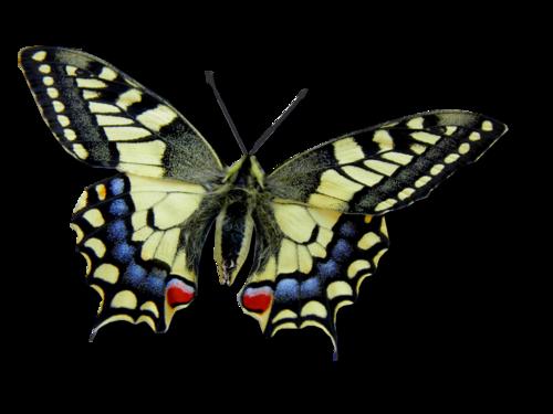 Tube papillon Machaon