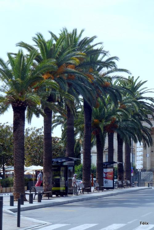Perpignan : palmiers publics
