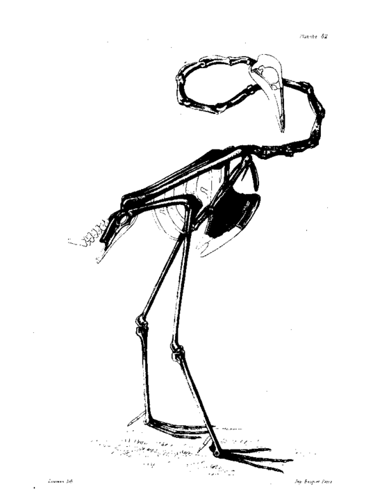 palaelodus squelette