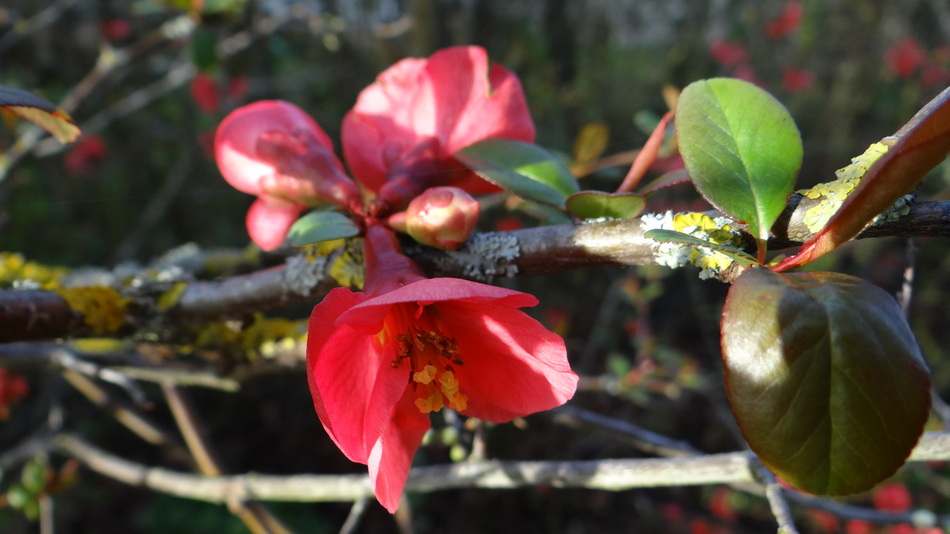 Le Cognassier du Japon (Chaenomeles Speciosa)