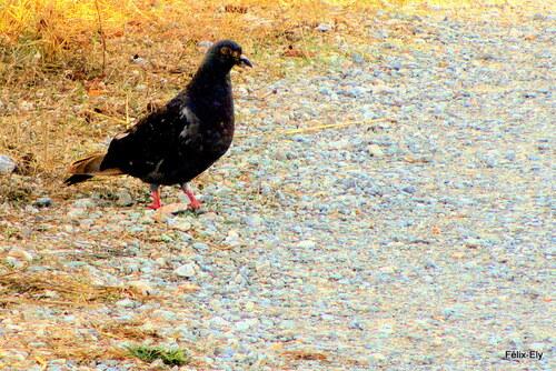 Le pigeon attentif !