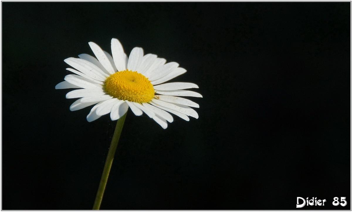 Marguerite (1) - Leucanthemum vulgare
