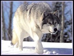 Roméo le Loup
