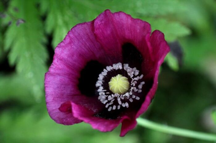 Papaver 2014 - 1 : Somniferum