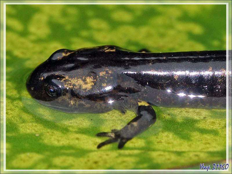 Larve de salamandre au développement bien avancé - Lartigau - Milhas - 31