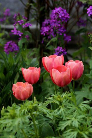 Tulipes 2017 : Mystic Van Eijk