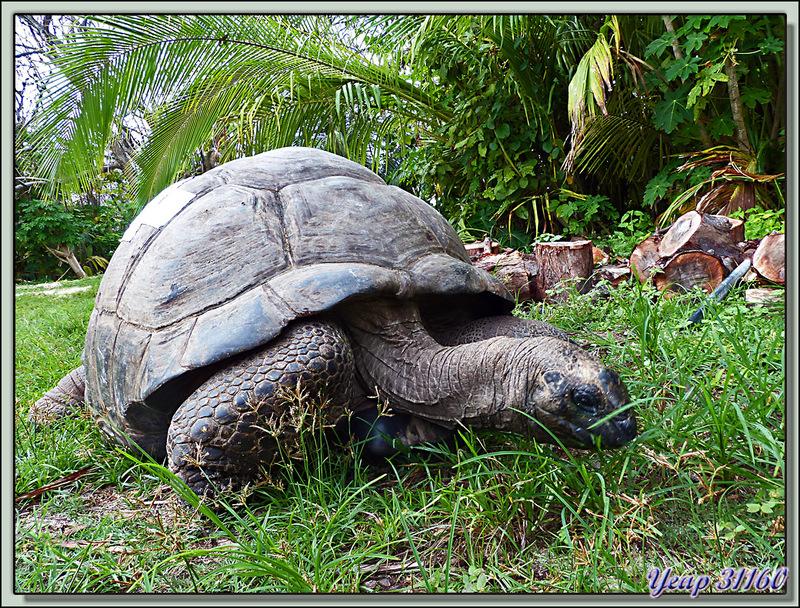 Tortue géante des Seychelles ou tortue éléphantine (Aldabrachelys gigantea) : ici la plus grosse d'entre elles, Esméralda - Bird Island - Seychelles