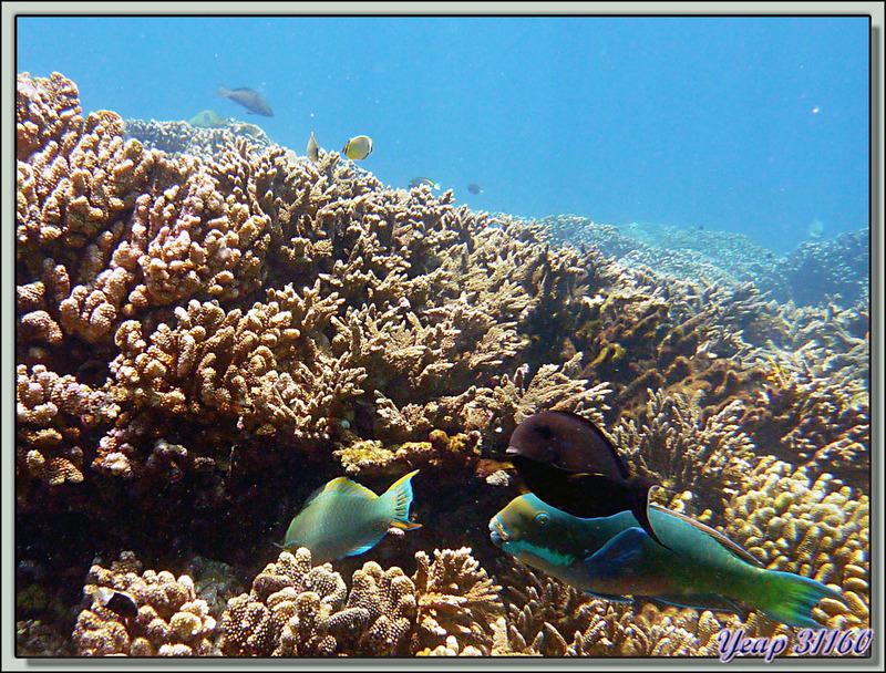 Plongée bouteille Passe Tumakohua : Poissons-perroquets et chirurgien - Atoll de Fakarava - Tuamotu - Polynésie française