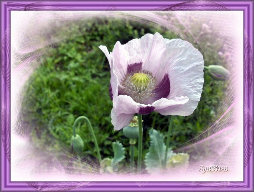 Pavot rose fleur