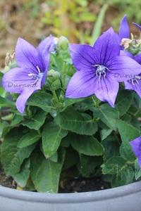 Campanule à grandes fleurs ou Platycodon