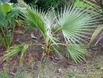 Washingtonia filifera n°2 - année 2013 et 2014