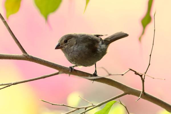 Sporophile rougegorge - Jardin des colibris