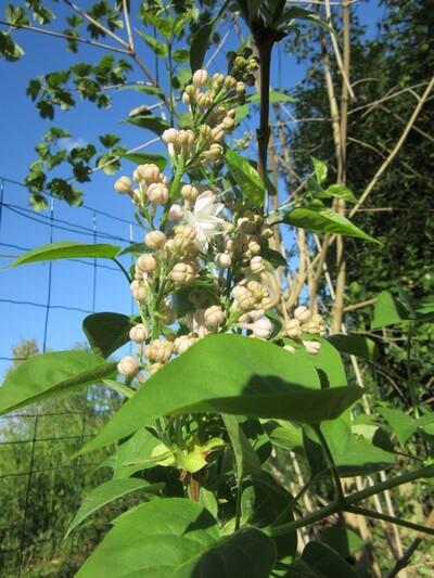 Magnolia et compagnie