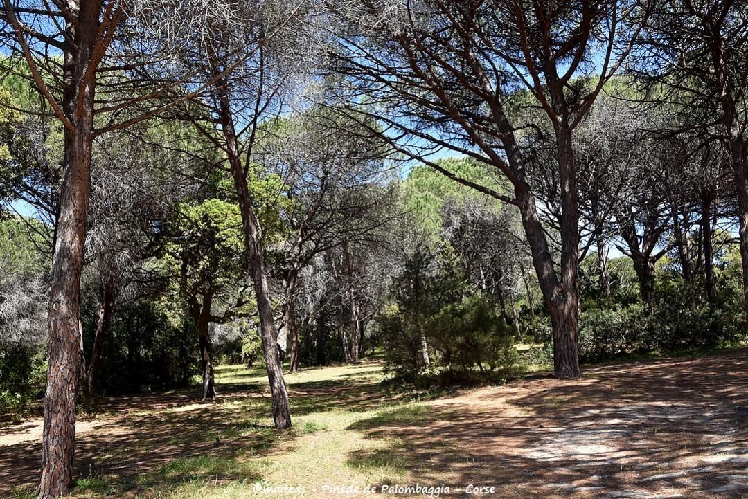 Pinède de Palombaggia - Corse