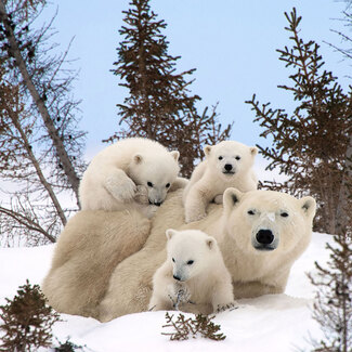 Photos de Famille d'Ours Polaires