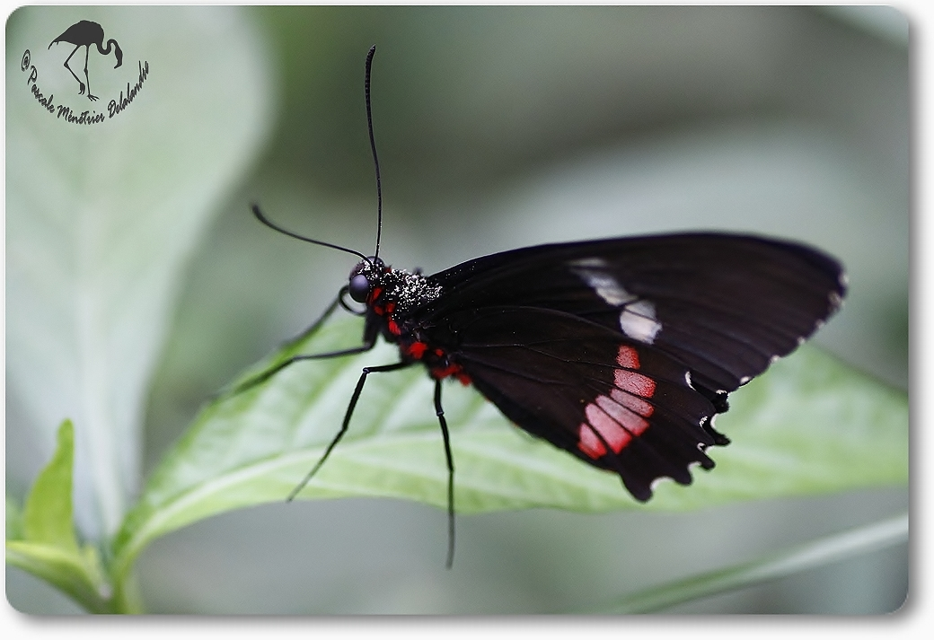 Parides photinus -Papilionidae - costa rica