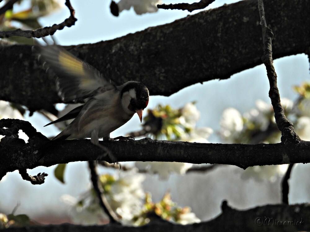 Les oiseaux dans mon cerisier en fleur