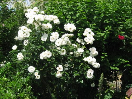 Mes-fleurs-et-le-potager-2137.JPG
