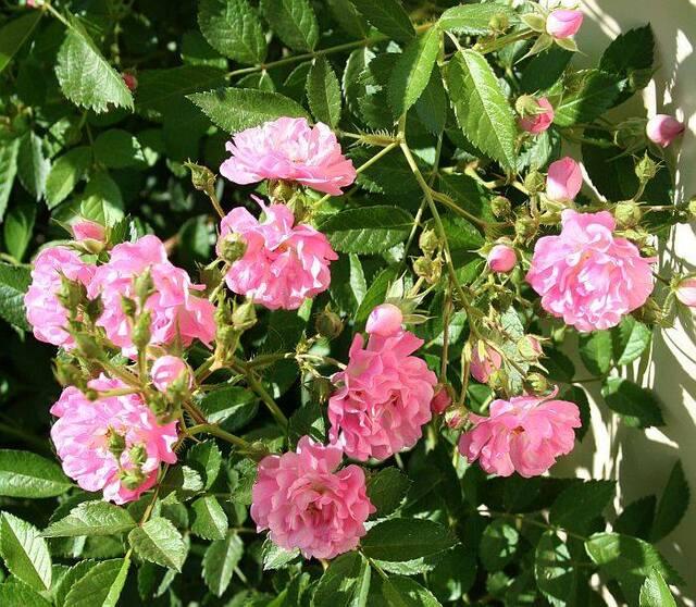 Les Roses de Warren : Princesse du Ballet