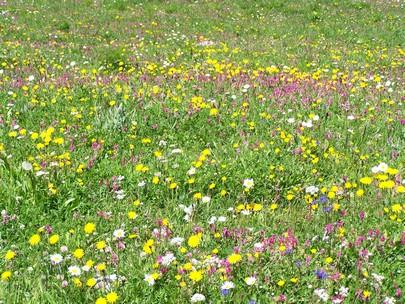 Fleurs du Mont-Cenis