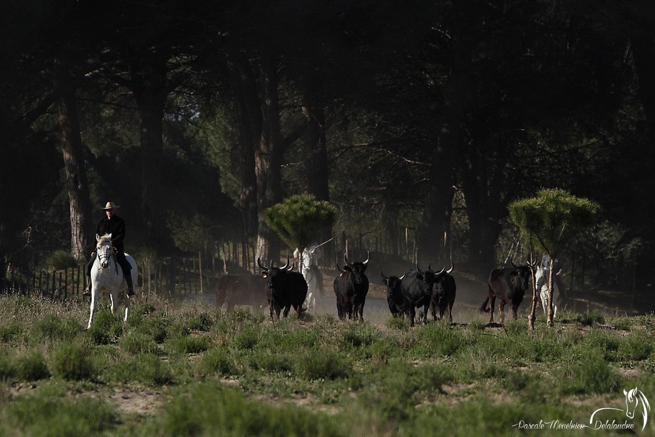 Taureaux de Camargue (2)