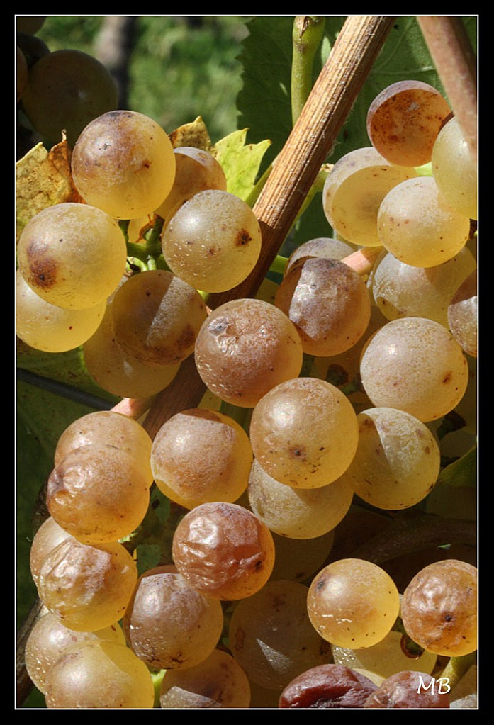 Raisin---Vendanges-7188a.jpg