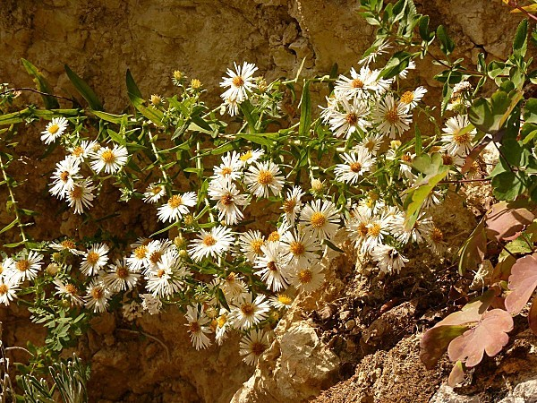 Aster blanc - branche