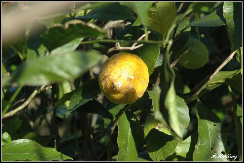 un citron en janvier