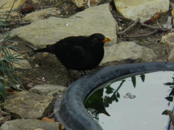 Merle noir s'abreuvant au bassin