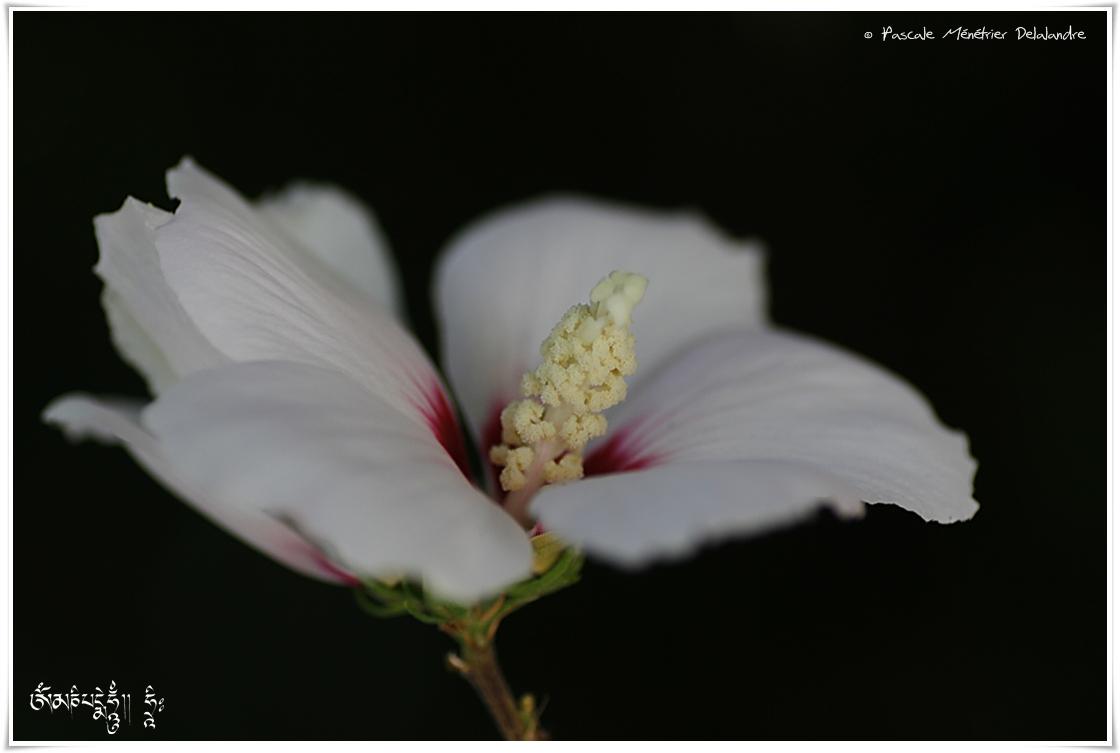 Althéa (Hibiscus)