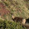 Isard (Rupicapra pyrenaica)