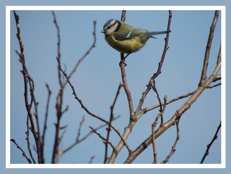 Oiseaux de nos jardins.Images gratuites.Mésange charbonniere.Mésange bleue.