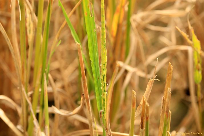 Les rizières de Mai Châu, Viêt Nam