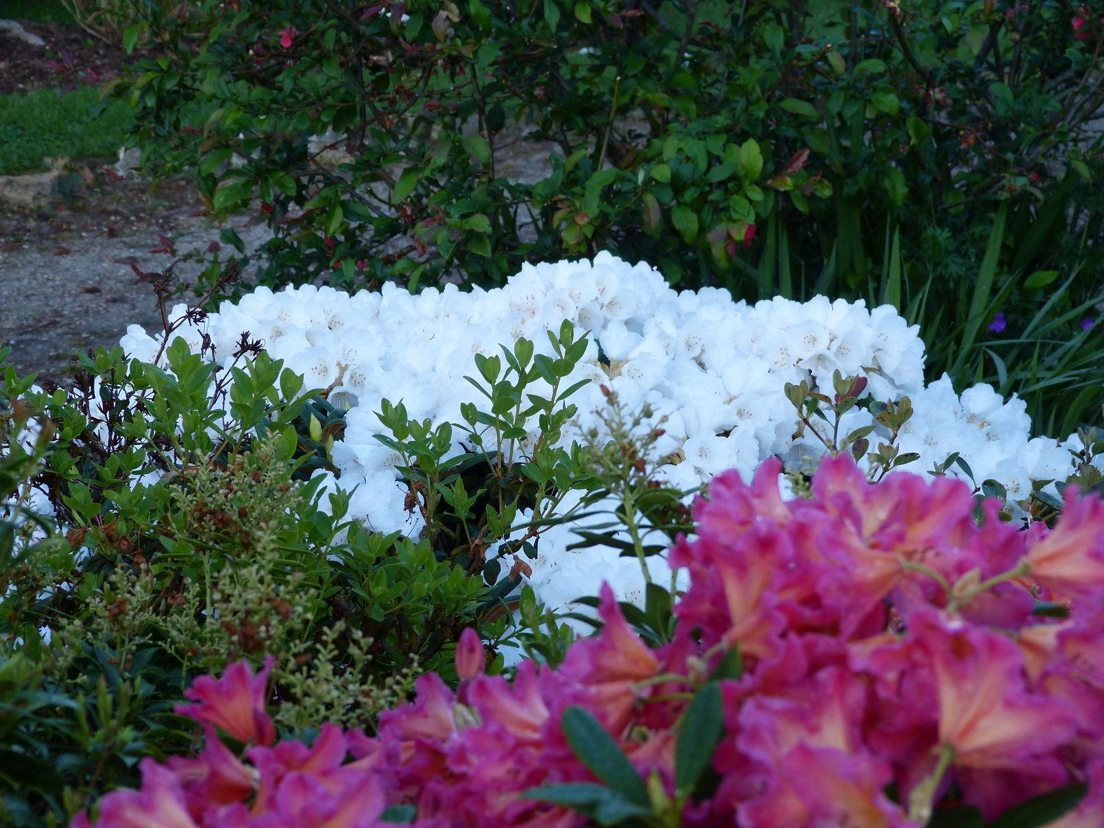 Rhodo yakushimanum for Quand planter un rhododendron