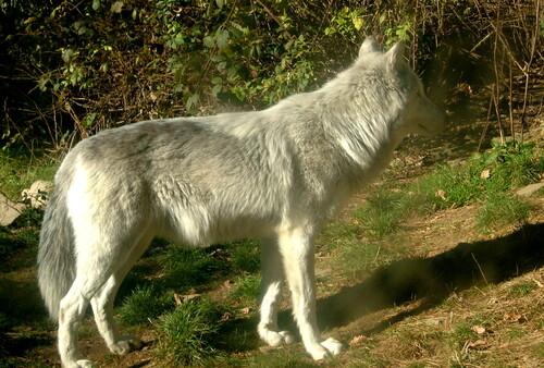 Loup, Gévaudan