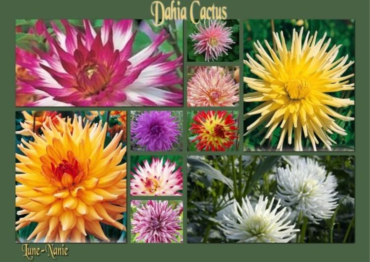 Dahlia Cactus (Dahlia Hortensis)