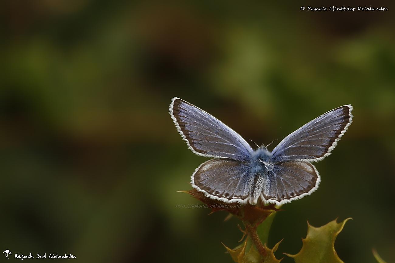Azuré de l'ajonc ♂ ou Petit argus ou Argus bleu (Plebejus argus) - Lycaenidae