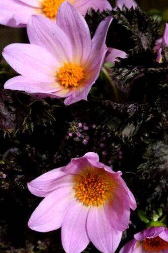 Brassée rose