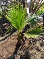 Washingtonia filifera n°2 - année 2013