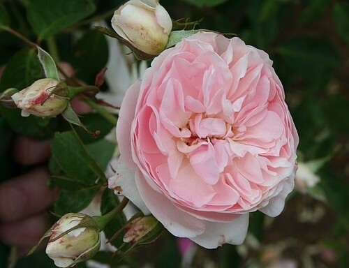 Les roses de Warren : Mermaid of Zennor