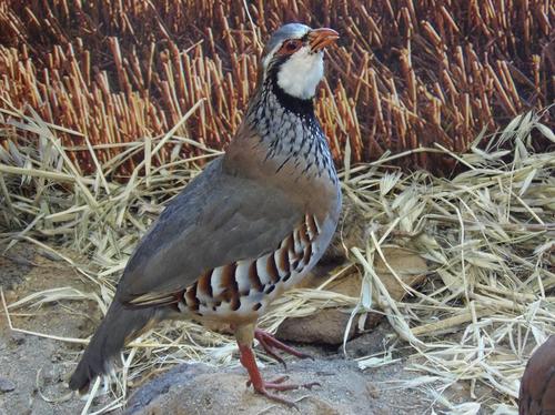 Oiseaux des campagnes françaises