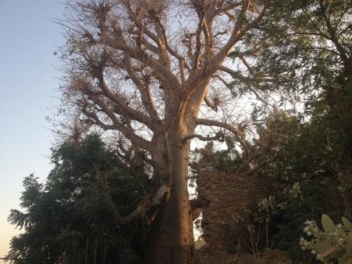 Le Baobab...
