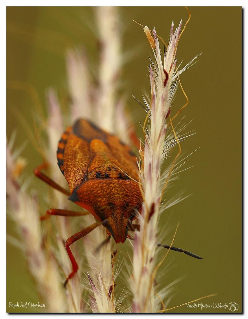 Carpocoris mediterraneus (Pentatome méridional)