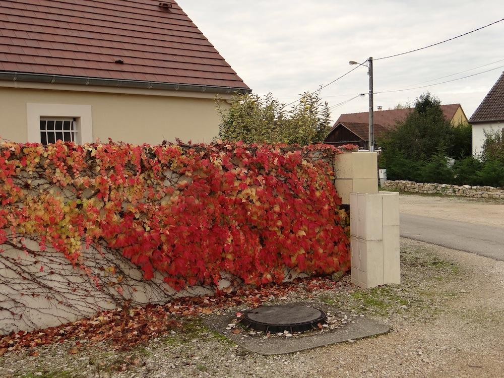La vigne vierge aux couleurs d automne parent les vielles maisons
