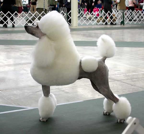 Races de chiens:  Caniche