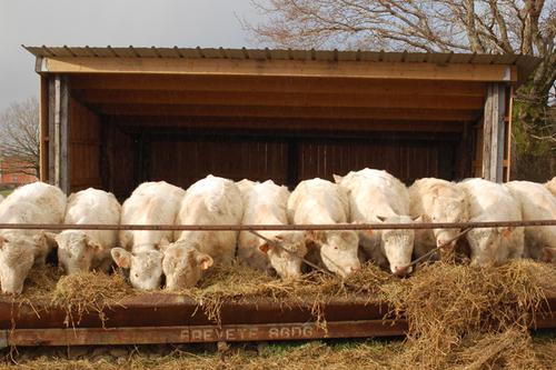 La viande charolaise Bio dans le Morvan....un produit de qualité