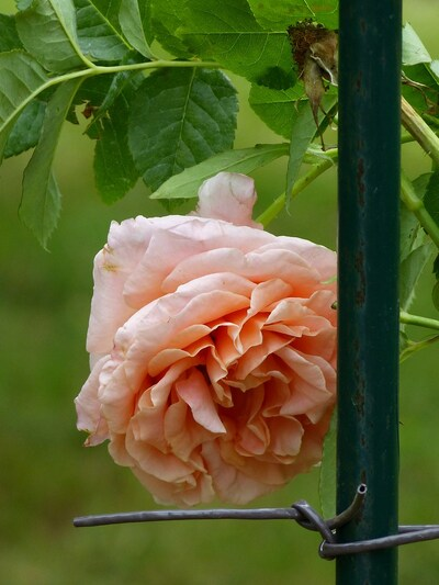 mes derniers rosiers ...