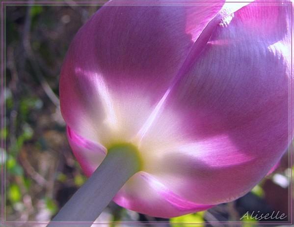 Tulipe-4.jpg
