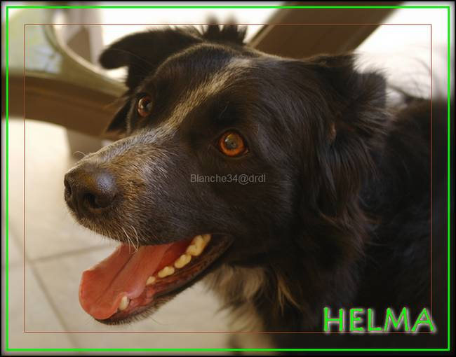border-collie-helma