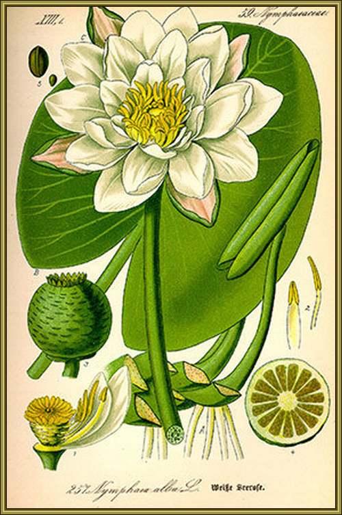 Vertus médicinales des plantes sauvages : Nénuphar